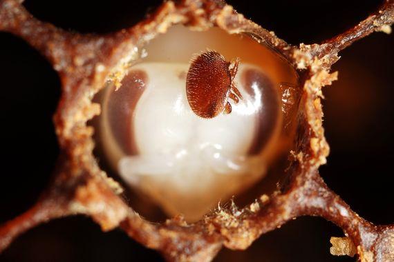 Varroa sur nymphe